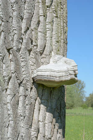 Hoof fungus (Fomes fomentarius),Germany Standard-Bild
