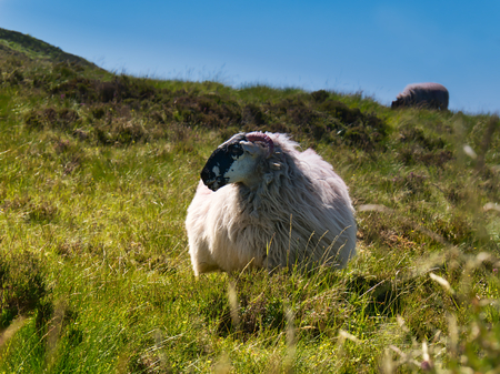 Mountain with a long green grass and a big sheep