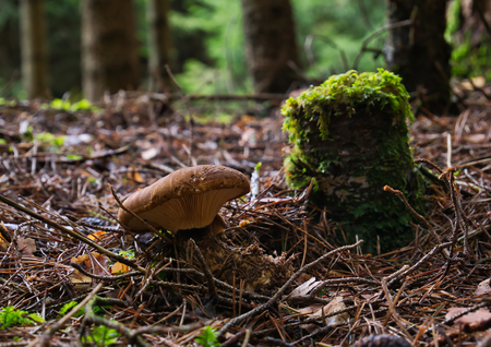 A brown mushroom stands in the woods beside an old mossy tree stump against blurred background Banco de Imagens
