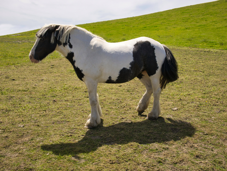 Side view of a black and white horse on a green meadow