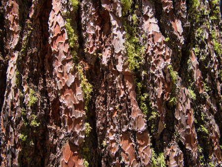 Isolated green moss in the deep grooves of a thick tree bark