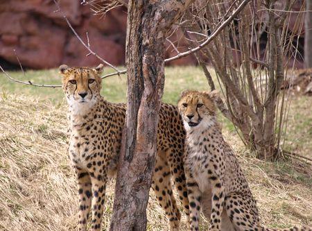 Two Cheetahs Stock Photo