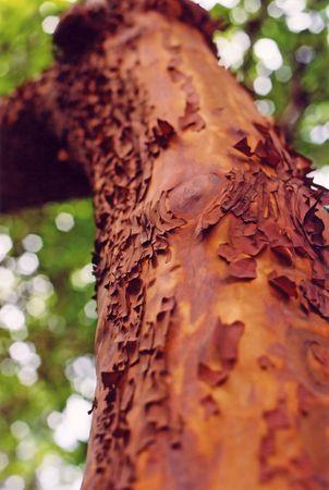 アービュートス木