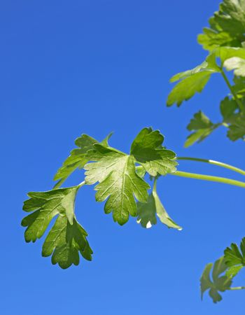 Parsley Leaves Vertical Stock Photo