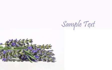 Fresh lavender on a white background with space for text Stock Photo