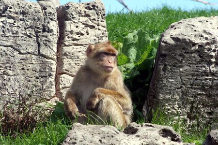 macaque: A japanese macaque looking out into the distance