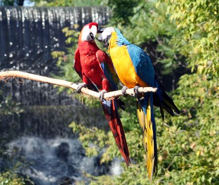 to another: Two macaws preening one another