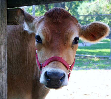 peaking: A brown cow peaking through a fence Stock Photo