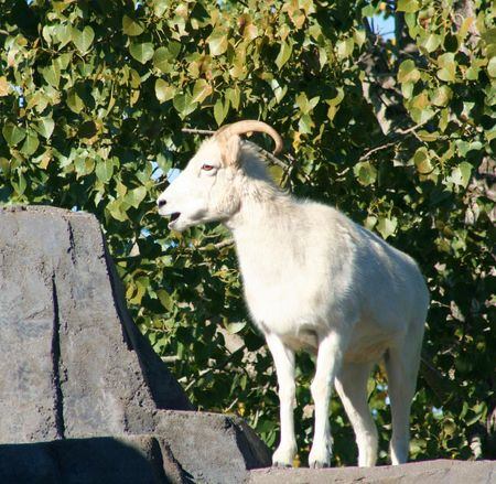 A dall sheep standing on a ledge photo