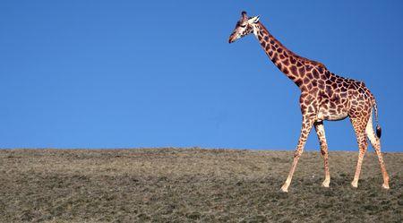 savana: A giraffe walking across some dry grass