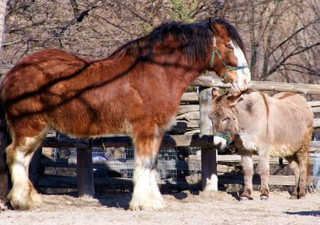 snuggling: A Clydesdale horse and a Donkey snuggling Stock Photo