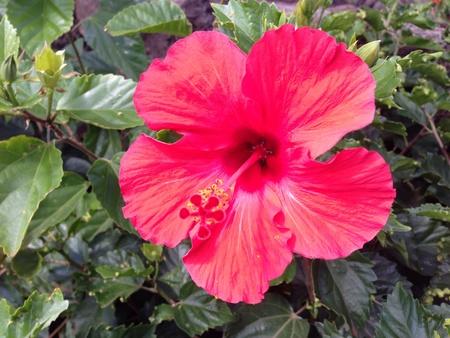 rapa nui: Polinesia flor roja Rapa Nui Isla de Pascua