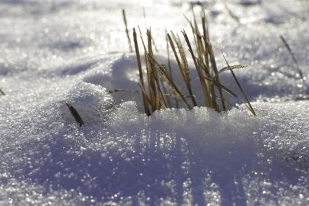 Grass Growing Through Snow