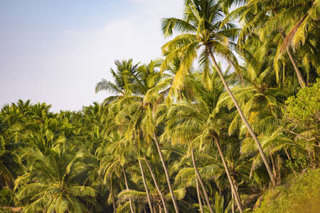 Close-up view of some beautiful green coconut palm trees illuminated at sunset. Varkala, Kerala State, India. Varkala is a town in the south Indian state of Kerala. It