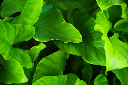 (Selective, soft focus) Close-up view of some Arum-lily leaves forming a green natural background. Zantedeschia aethiopica, commonly known as calla lily, is a species of flowering plant in the family Araceae