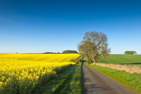 gloucestershire: Vibrant yellow crop of canola grown as a healthy cooking oil or conversion to biodiesel as an alternative to fossil fuels. These crops are becoming ever more popular as fossil fuel production nears its peak. Stock Photo