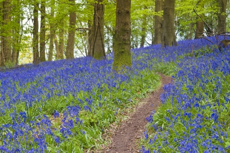 south west england: Magical green forest and sunlit wild bluebell flowers. Stock Photo