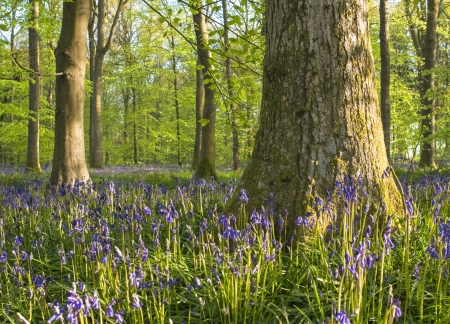 clearing: Magical green forest and sunlit wild bluebell flowers. Stock Photo