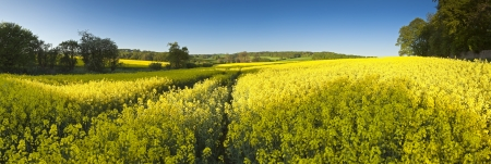 gloucestershire: Vibrant yellow crop of canola grown as a healthy cooking oil or conversion to biodiesel as an alternative to fossil fuels  These crops are becoming ever more popular as fossil fuel production nears its peak