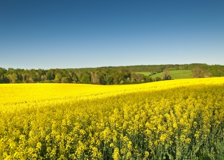 Vibrant yellow crop of canola grown as a healthy cooking oil or conversion to biodiesel as an alternative to fossil fuels  These crops are becoming ever more popular as fossil fuel production nears its peak  photo