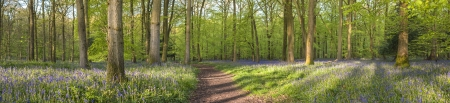 Magical green forest and sunlit wild bluebell flowers  Stock Photo