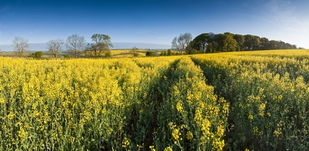 biodiesel: Vibrant yellow crop of canola grown as a healthy cooking oil or conversion to biodiesel as an alternative to fossil fuels  These crops are becoming ever more popular as fossil fuel production nears its peak