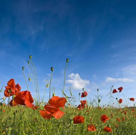Pretty summer field carpeted with wild poppies. photo