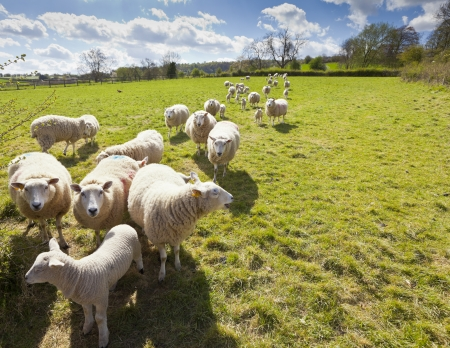 sheep barn: Idyllic rural view of pretty farmland and healthy livestock, in the beautiful surroundings of the Cotswolds, England, UK.