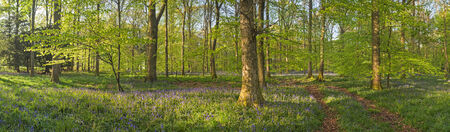 dean: Magical green forest and sunlit wild bluebell flowers  Stock Photo