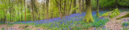 dean: Magical green forest and sunlit wild bluebell flowers. Stock Photo