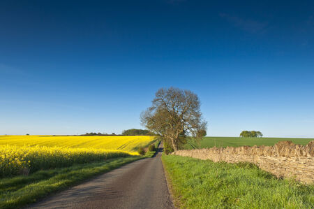 fossil fuels: Vibrant yellow crop of canola grown as a healthy cooking oil or conversion to biodiesel as an alternative to fossil fuels. These crops are becoming ever more popular as fossil fuel production nears its peak. Stock Photo