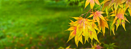 changing seasons: Japanese leaves revealing the beautiful autumnal colours of the changing seasons.
