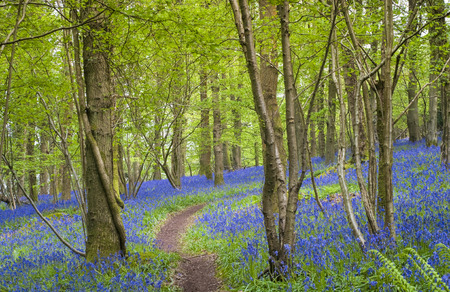 Magical green forest and sunlit wild bluebell flowers. Stock Photo