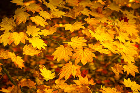 changing seasons: Japanese leaves revealing the beautiful autumnal colours of the changing seasons