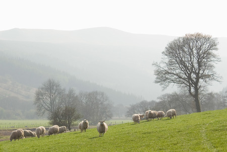 baby sheep: Healthy animal livestock feeding in a lush rural environment  Stock Photo