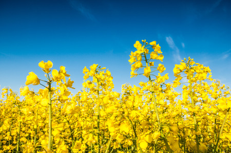 Vibrant yellow crop of canola grown as a healthy cooking oil or conversion to biodiesel as an alternative to fossil fuels. These crops are becoming ever more popular as fossil fuel production nears its peak. Stock Photo