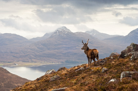 Wild stag overlooking Loch Torridon and the dramatic Wester Ross mountain range, Scotland Foto de archivo