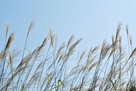 gramineous: The plants of Miscanthus sinensis against blue sky