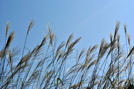 The plants of Miscanthus sinensis against dark blue sky Stock Photo - 8184431