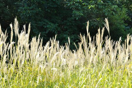 gramineous: The plants of Miscanthus sinensis against dark background