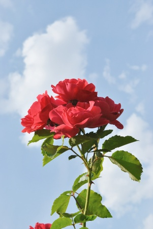 The branch of rose bush with red flowers is against light blue sky with white clouds. The bright red flowers are in the middle part of image. The lighting is from the left side. Stock Photo - 9760708