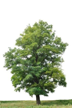 szarańcza: Samotne drzewo