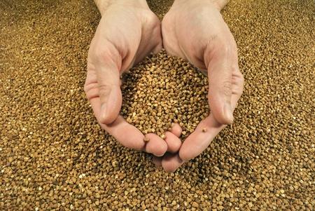 The yield of buckwheat  photo