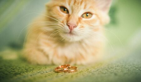 Funny elegant pretty red short-haired cat with luxury wedding rings on head Stock Photo