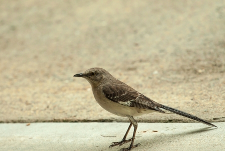 mocking: norther mocking bird eating bugs from the driveway in the rain