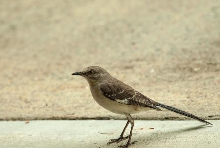 ruiseñor: viento norte sinsonte comer insectos de la calzada en la lluvia