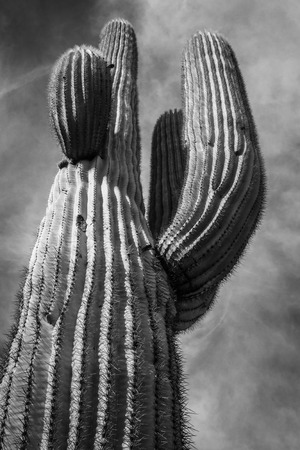 Native desert cactus in phoenix arizona photo