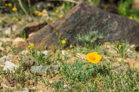 yellow desert flower in the rocks of Phoenix Arizona photo
