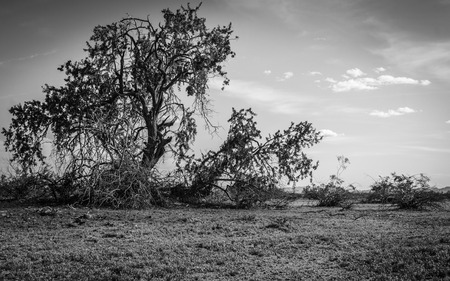 An Old Desert Tree in the Arizona Desert photo