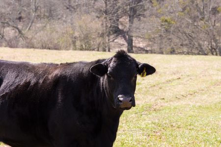 black angus cattle: Cattle on a beef farm